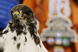 NFL Super Bowl 2014: Feb 2  2014 - Broncos vs Seahawks - Taima the Hawk