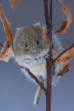 Portrait of a Northern Red-Backed Vole  Myodes Rutilus  Climbing on a Tree Branch