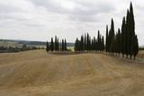 Harvested Barley Field with Cypress Trees  Tuscany  Italy