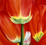 Most Beautiful Tulip I