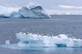 Black-Legged Kittiwake (Rissa Tridactyla) on Iceberg