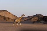 Desert Giraffe (Giraffa Camelopardalis Capensis)  Namibia  Africa