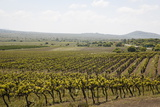 Vineyard in the Golan Heights  Israel  Middle East