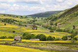 Summer Buttercups in Upper Swaledale Near Thwaite