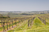 Vineyards in the Cognac Area of France  Charente Maritime  France  Europe