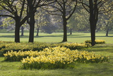 Daffodils  Green Park  London  England  United Kingdom  Europe