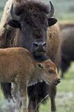 Bison (Bison Bison) Cow and Calf Papier Photo par James Hager