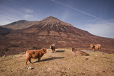 Highland Cattle on the Isle of Skye in the Highlands