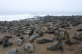Colony of South African Fur Seals (Arctocephalus Pusillus)  Namibia  Africa