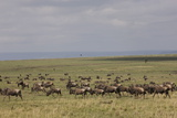 Herd of Wildebeests (Connochaetes Taurinus)