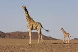 Desert Giraffe (Giraffa Camelopardalis Capensis) with Her Young  Namibia  Africa
