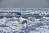 Polar Bear (Ursus Maritimus) on Pack Ice  Spitsbergen  Svalbard  Norway  Scandinavia  Europe