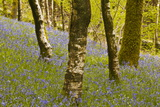 Bluebells in Millers Wood Near to Colton in the Lake District National Park