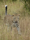 Leopard (Panthera Pardus) Walking Through Dry Grass with His Tail Up