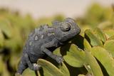 Namaqua Chameleon (Chamaeleo Namaquensis)  Namibia  Africa