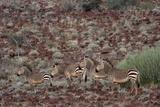 Hartmann's Mountain Zebra (Equus Zebra Hartmannae)  Damaraland  Namibia  Africa