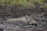 Warthog (Phacochoerus Aethiopicus) Mud Bathing  Ngorongoro Crater  Tanzania East Africa  Africa