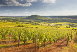 Vineyards Near to the Beaux Village De France of Vezelay in the Yonne Area