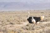 Ostrich (Struthio Camelus) Walking Through Karoo Desert  Ceres  Western Cape  South Africa  Africa