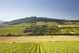 Vineyards Near to the Hilltop Village of Vezelay in the Yonne Area of Burgundy  France  Europe