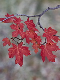 Red Leaves on a Big Tooth Maple Branch in the Fall