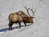Bull Elk (Cervus Canadensis) Feeding in the Winter