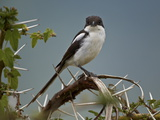 Fiscal Shrike (Common Fisca) (Lanius Collaris)  Ngorongoro Crater  Tanzania  East Africa  Africa