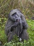 Adult Male Chacma Baboon (Papio Ursinus) Eating a Water Lily Tuber