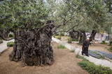Olive Trees in the Garden of Gethsemane  Jerusalem  Israel  Middle East