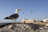 Seagulls and the Medina and Ramparts  Essaouira  Atlantic Coast  Morocco  North Africa  Africa
