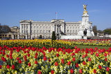 Buckingham Palace and Queen Victoria Monument with Tulips  London  England  United Kingdom  Europe