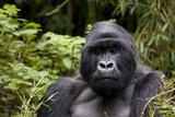 Silverback  Mountain Gorilla (Gorilla Gorilla Beringei)  Kongo  Rwanda  Africa