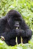Mountain Gorilla (Gorilla Gorilla Beringei)  Kongo  Rwanda  Africa
