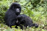 Mountain Gorillas (Gorilla Gorilla Beringei)  Kongo  Rwanda  Africa