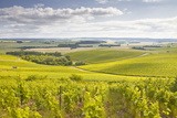 Champagne Vineyards in the Cote Des Bar Area of Aube  Champagne-Ardenne  France  Europe