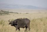 African Buffalo (Syncerus Caffer)  Masai Mara National Reserve  Kenya  East Africa  Africa