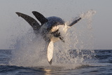 Great White Shark (Carcharodon Carcharias) Papier Photo par David Jenkins