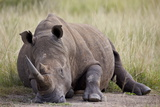 White Rhinoceros (Ceratotherium Simum) Napping  Hluhluwe Game Reserve  South Africa  Africa