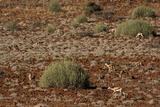 Herd of Springbok (Antidorcas Marsupialis)  Namibia  Africa
