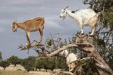 Goats Up Argan Tree  Near Essaouira  Morocco  North Africa  Africa