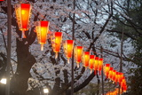 Red Lanterns Illuminating the Cherry Blossom in the Ueno Park  Tokyo  Japan  Asia