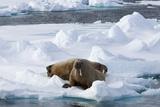 Walrus (Odobenus Rosmarus)  on Pack Ice  Spitsbergen  Svalbard  Norway  Scandinavia  Europe