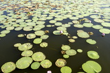 Pond Filled with Lotus  Tamil Nadu  India  Asia