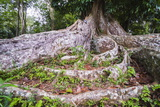 Twisted Roots of an Old Tree at Kandy Royal Botanical Gardens