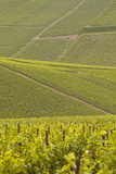 Champagne Vineyards Near to Les Riceys in the Cote Des Bar Area of the Aube Department