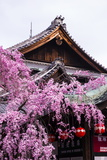 Cherry Blossom Tree in the Geisha Quarter of Gion  Kyoto  Japan  Asia