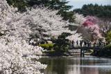 Cherry Blossom in the Shinjuku-Gyoen Park  Tokyo  Japan  Asia