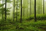 Beech Forest  Erzgebirge  Saxony  Germany  Europe