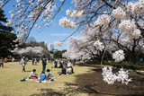Picnic in the Cherry Blossom in the Shinjuku-Gyoen Park  Tokyo  Japan  Asia