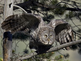 Great Gray Owl (Great Grey Owl) (Strix Nebulosa) Adult Leaving a Perch